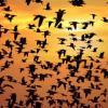 Oiseaux%20migrants%2011[1]