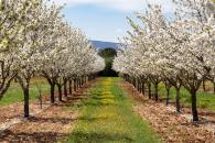 Allees de cerisiers
